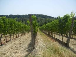 the vineyards @fattoria-fibbiano