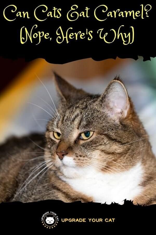 Can Cats Eat Caramel No Sugary Treats Upgrade Your Cat In 2020 Cats How Much Sugar Cat Health