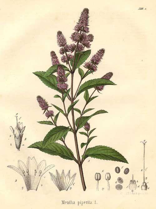 Richard Whelan ~ Medical Herbalist ~ Peppermint