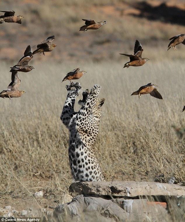 Быстрый перекус для леопарда - Maks