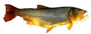 Resultado de imagen para dorado pez