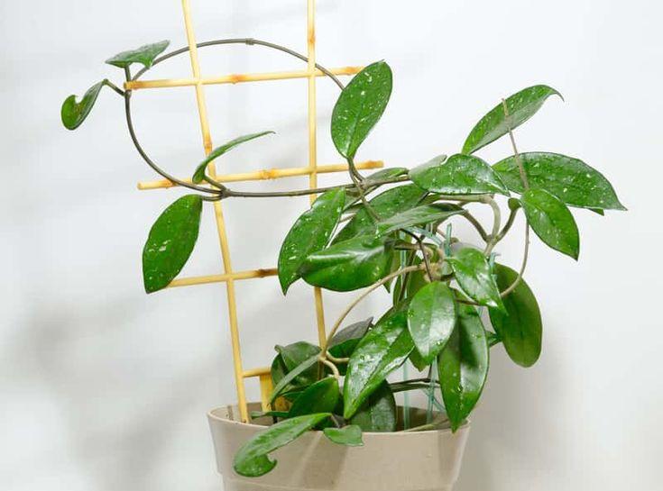 Hoja Woskowiec W Doniczce Jako Popularne Kwiaty Doniczkowe Oraz Porady Jak Pielegnowac Hoje House Plants Hoya Plants Plants