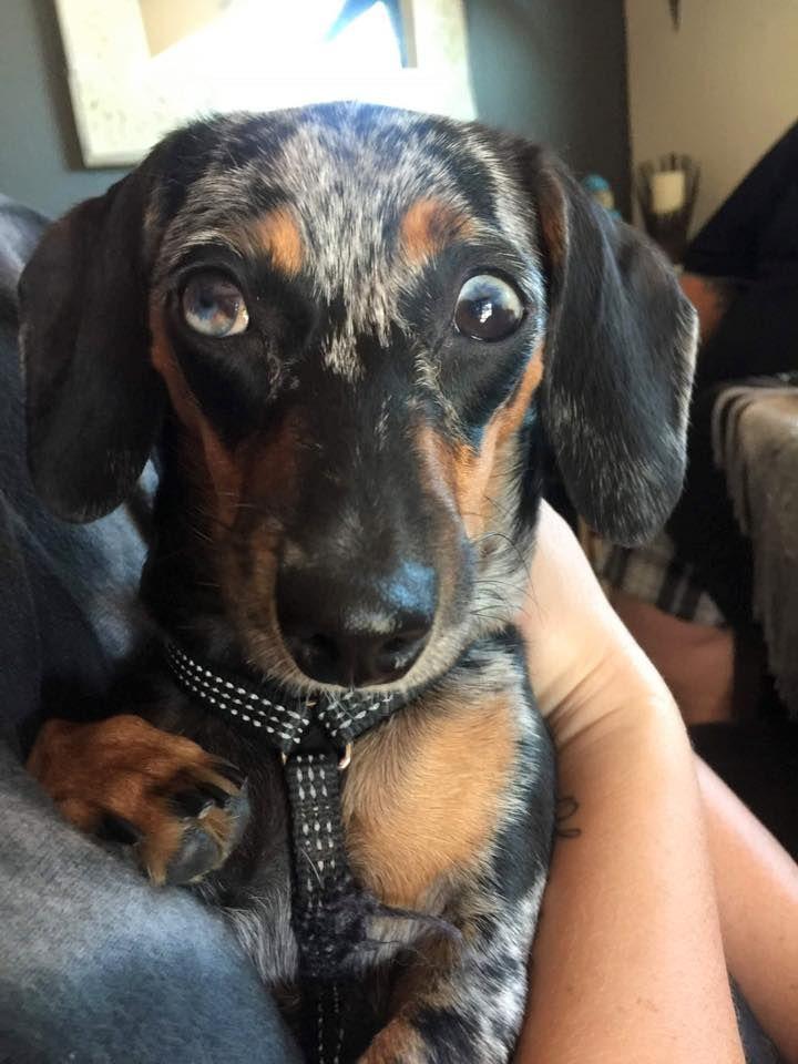 Luna S Funny Eyes Sausage Dog Weiner Dog