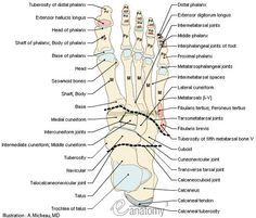 Human Muscle Quiz Printout   of foot - Anatomy : Bones; Skeletal system, Joints of foot, Muscles ...