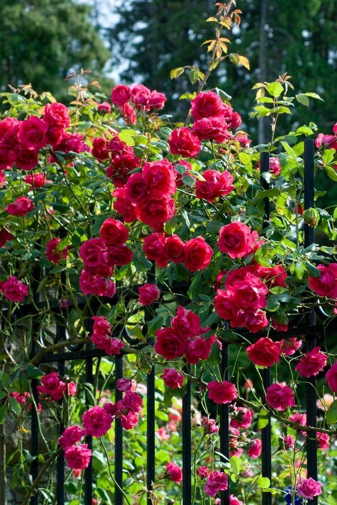 Popínavé ruže.