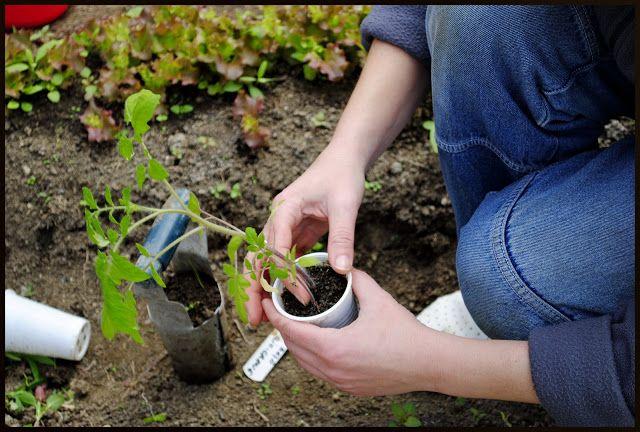 Plantarea rosiilor in solar