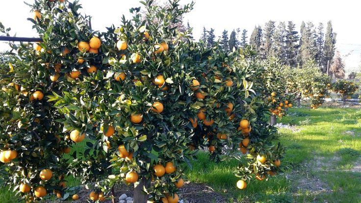 La raccolta delle arance