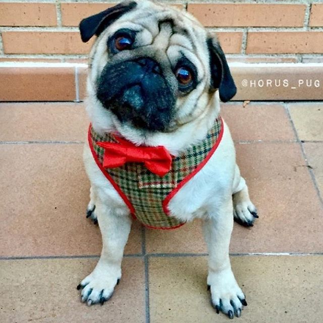 Love is definitely in the air... how handsome does our Spanish valentine @horus_pug look 😘🐶❤️ #poochusir #handmadewithlove #handmade #handmadeinengland #poochusirharness #lovepugs #lovedogs #pugharness #dogharness #dapperdog #dapper #locehearts #dogsinbowties #pugsinbowties #pug #pugcrush #puggywuggy #gentleman #pugsofinstagram #pugcrush #dogcrush