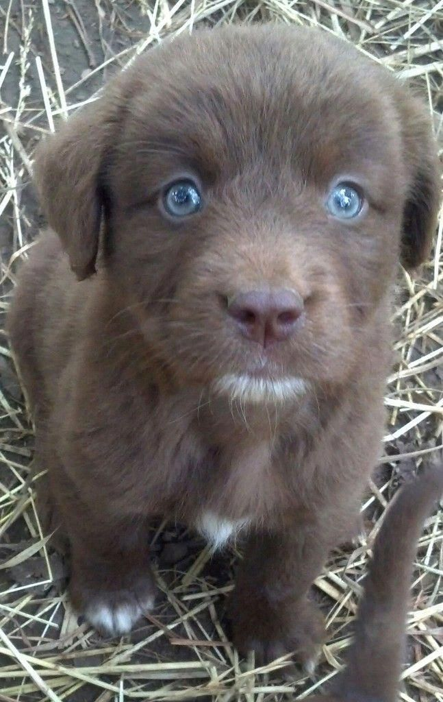 Chocolate Lab With Blue Eyes Puppies Lab Puppies Puppies With Blue Eyes