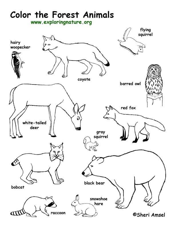 Forest Animals Coloring Page -- Exploring Nature Educational Resource: