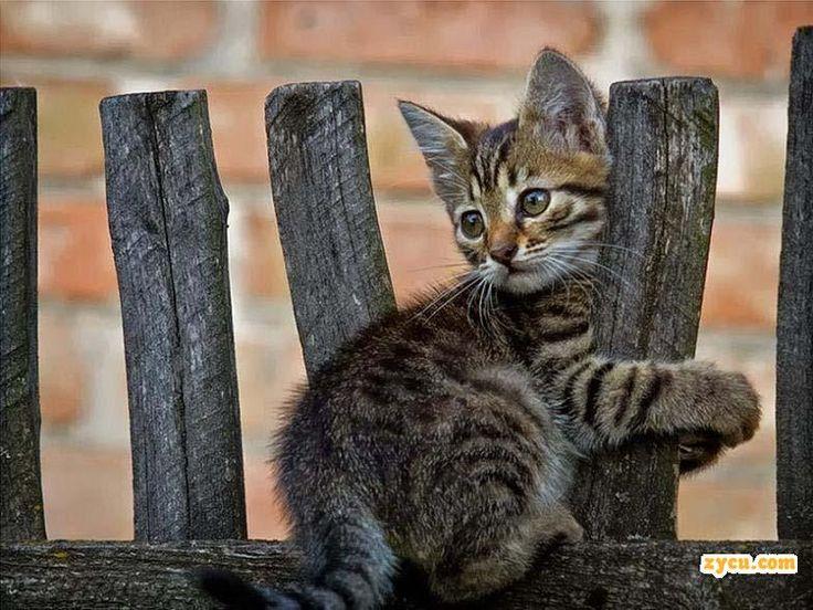 cute gray tabby kitten