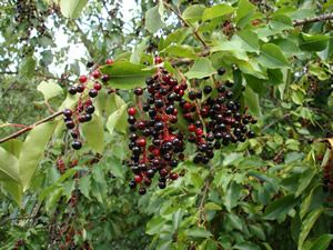Black cherry. Czeremcha amerykańska odm. Żółwin (Prunus serotina Żółwin). Variety selected and introduced by our nursery. Very late – fruit ripen in September and hang on the tree into October. They are very sweet and don't drop down. As time goes by their skin starts to wrinkle and they become still tastier, similar in flavour to raisins. The Black Cherry is a widely adaptable plant and could grow on almost every soil. The fruits will be sweeter in full sunlight