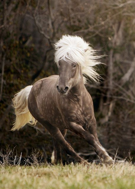 icelandic horse. Some things are just so beautiful they leave a lasting imprint on your soul.