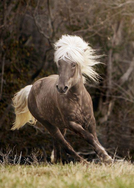 icelandic horse.: Colors Combos, Horses, Beautiful Hors, Iceland Hors, Iceland Ponies, Wild Hors, Silver Dapple, Animal, Hors Photo
