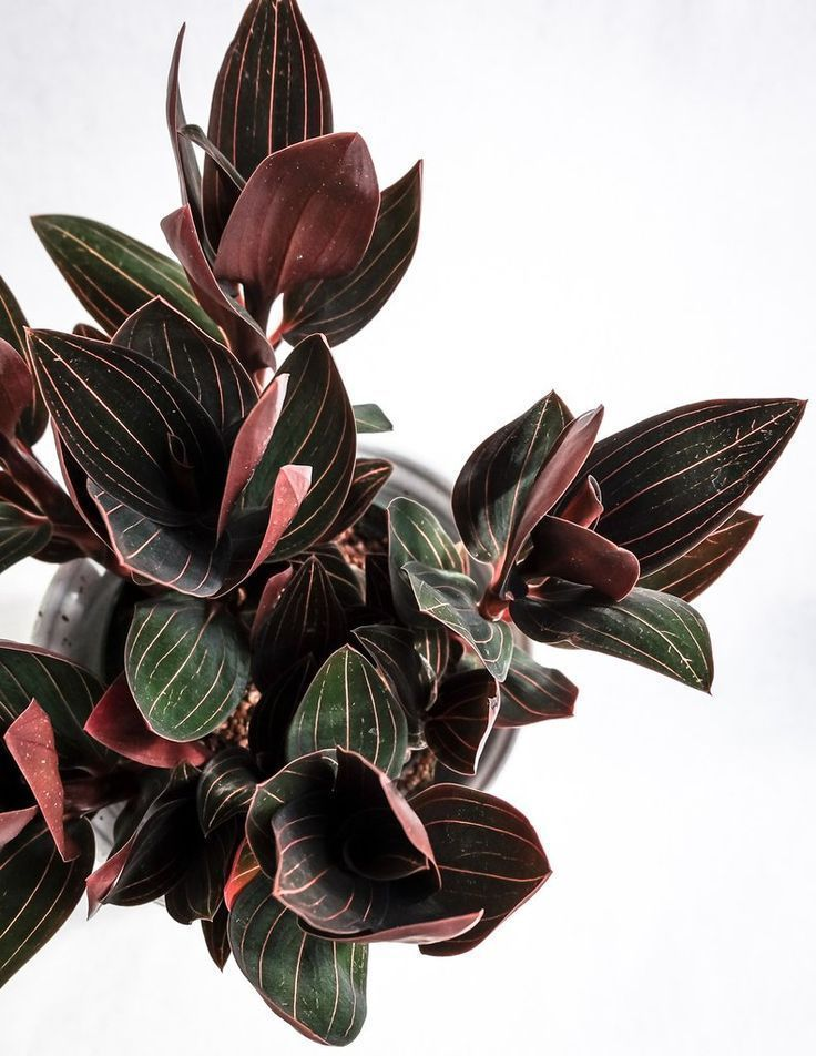 Ludisia Discolor - Jewel Orchid #InteriorDesignPlants