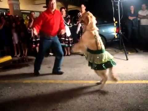 ..I LOVE THIS !! MUST SEE for Golden Retriever lovers. One of my all time fav youtube vids. This Dancing Dog Does the Golden Retriever Version of The Merengue