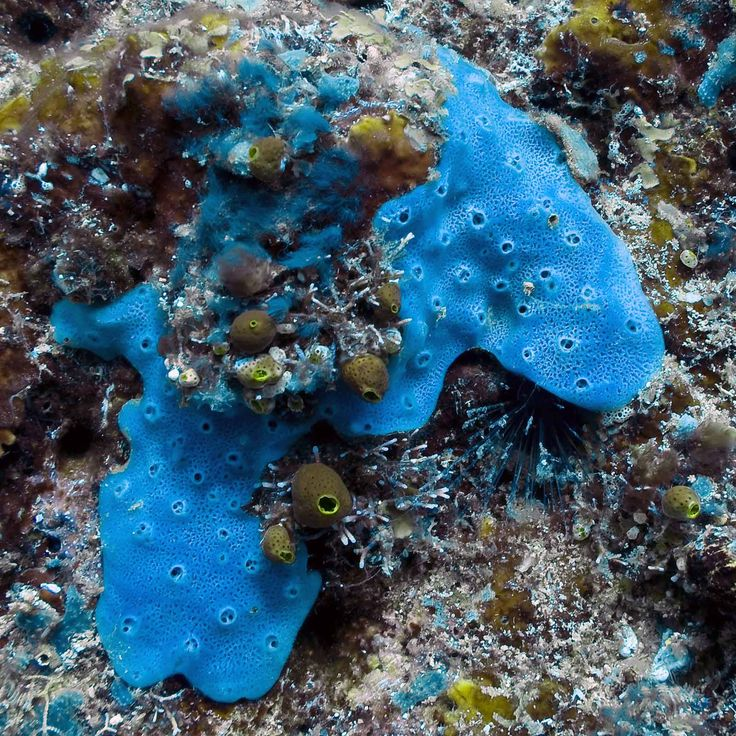 Encrusting sponges are a thin layer of sponge that often ...