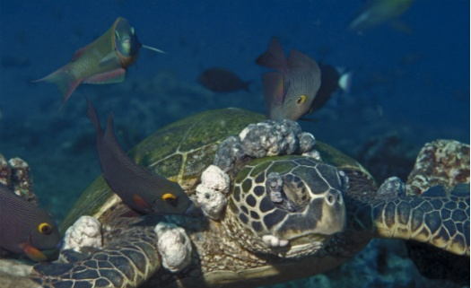 Poluição marinha provoca tumores em tartarugas
