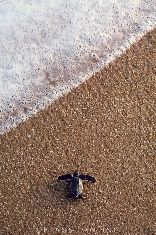 Leatherback sea turtle hatchling, Dermochelys coriacea, Galibi National Reserve, Surinam