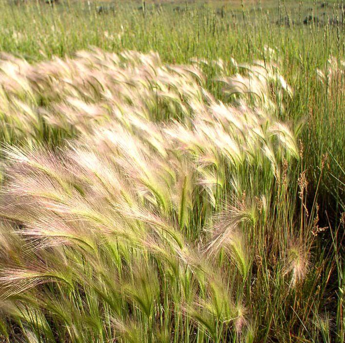 Foxtail Barley (Hordeum jubatum) gardens Pinterest