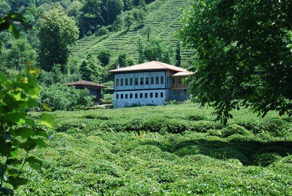 Tea fields in a village in the province of Rize - Northeast Turkey