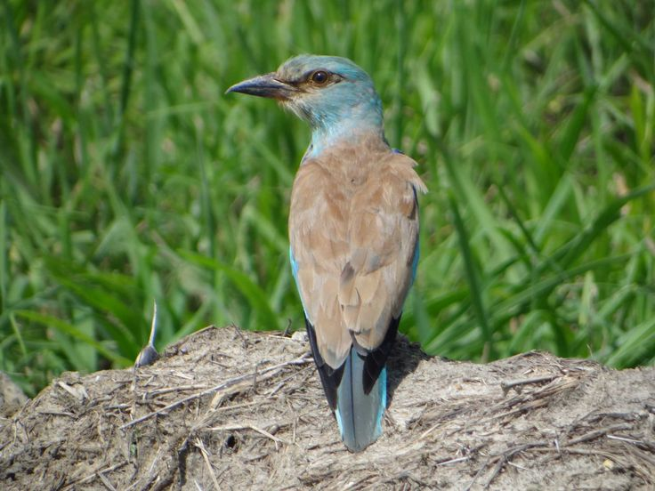 In January and February Saadani National Park started to be full of European Rollers (Coracias Garrulus) - you will see them wherever you turn your head - beautiful!