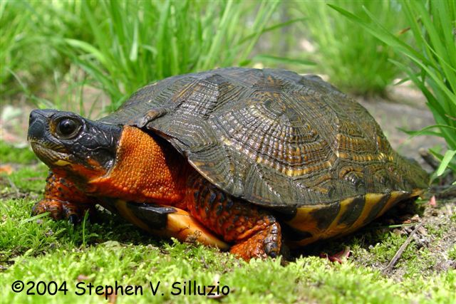 The Wood Turtle (Glyptemys insculpta) is endemic to North America. It is in the genus Glyptemys, a designation given to only one other turtle: the bog turtle. The wood turtle's defining characteristic is the pyramidal pattern on its upper shell. The wood turtle exists in a broad range extending from Nova Scotia in the north to Minnesota in the west and Virginia in the south.