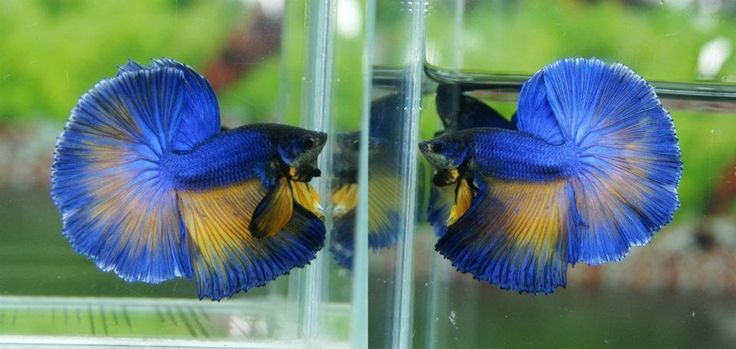 67 Best Images About Fish On Pinterest Peacocks