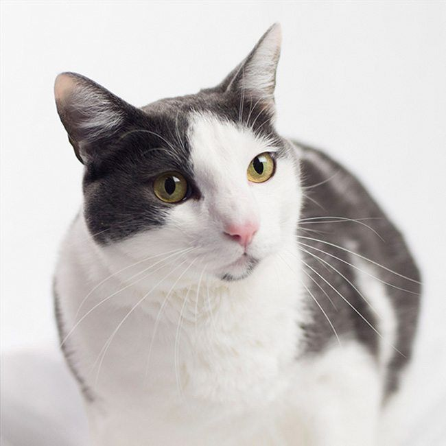 Photo Of A Golden Eyed Bicolor Cat A Golden Eyed Cat With Mask And Mantle Bicolor Mostly White With Black Gray Markings Bicolor Cat Grey And White Cat Cats