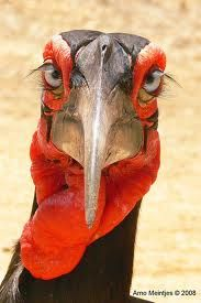 southern ground hornbill - Google Search