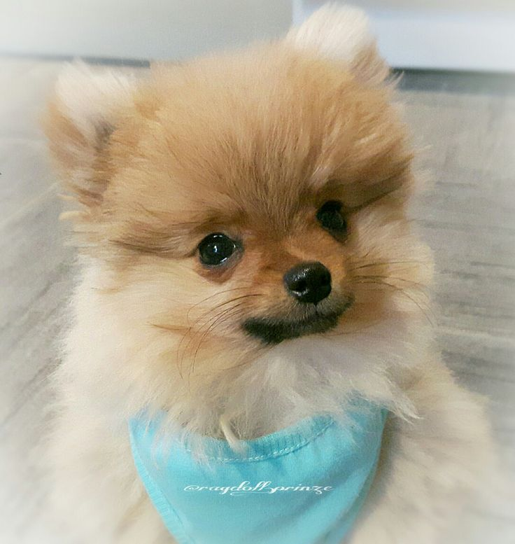 This is my Teddy. Dwarf red Pomerainan.