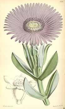 2576 Carpobrotus acinaciformis (L.) L. Bolus [as Mesembryanthemum acinaciforme L.]  / Curtis's Botanical Magazine, t. 5486-5551, vol. 91 [ser. 3, vol. 21]: t. 5539 (1865) [W.H. Fitch]