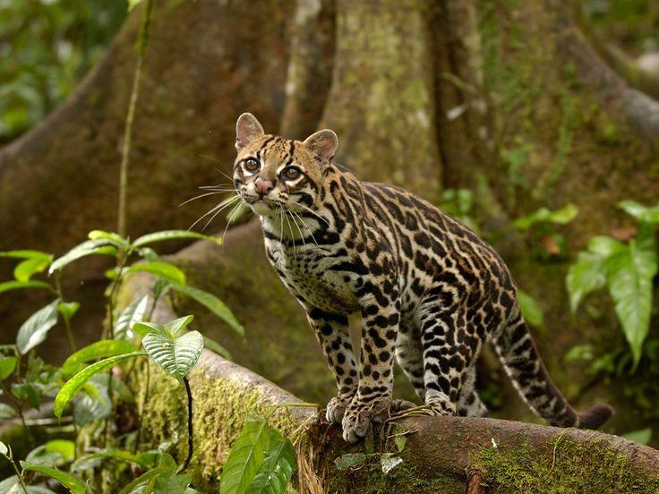 Ocelot in the amazon rainforest ecuador webshots - Amazon rainforest animals wallpaper ...