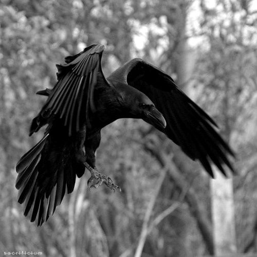 According to some Native American myth. the raven was once a white bird with a beautiful singing voice. till it made such a selfless sacrifice for the benefit of mankind. It brought to man a flaming stick. In turn, the soot blackened its feathers. blistered its feet. and in breathing the smoke, ruined its voice forever. Here's to the raven and its sacrifice...
