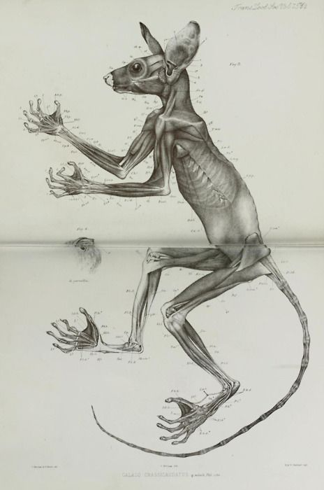 Anatomy of a Bushbaby. From Transactions of the Zoological Society of London, Volume VII. 1872