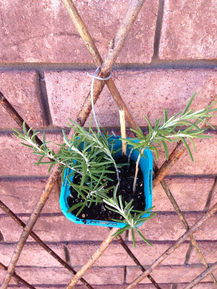 An experiment with rosemary clippings