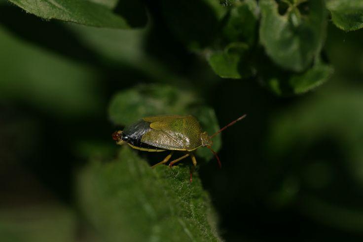 2014 05 16 groene stinkwants Palomena prasina