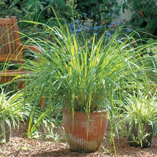 An essential herb for Asian cuisine.This clump-forming perennial resembles an ornamental grass with its aromatic cane-like stems arising from a central base. The lemon-scented, linear, strap leaves reach 3 feet long, falling over at the tip.Lemon grass thrives in moist soil and full sun, growing 3 to 5 feet tall. Grow in containers so that the plant can be moved indoors during winter.
