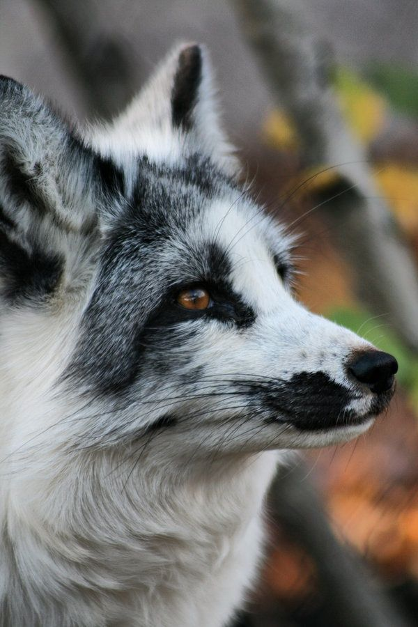 Black and white fox....how unusual