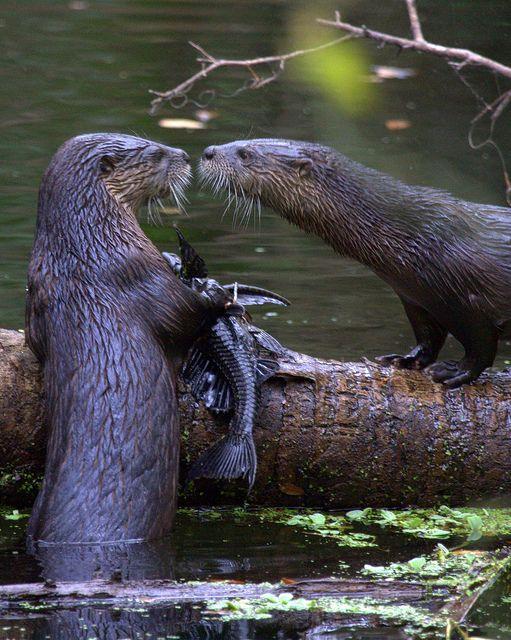 Otters by Fastball95 (Steve Leach), via Flickr