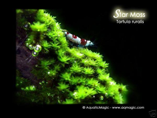 Star Moss - Live Aquarium Plant Fern Java Anubias INV #AquaticMagic