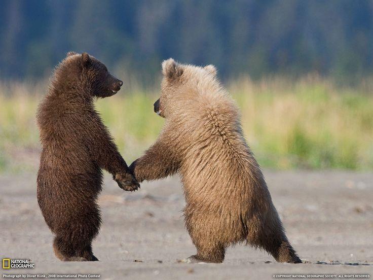 I cuccioli di grizzly