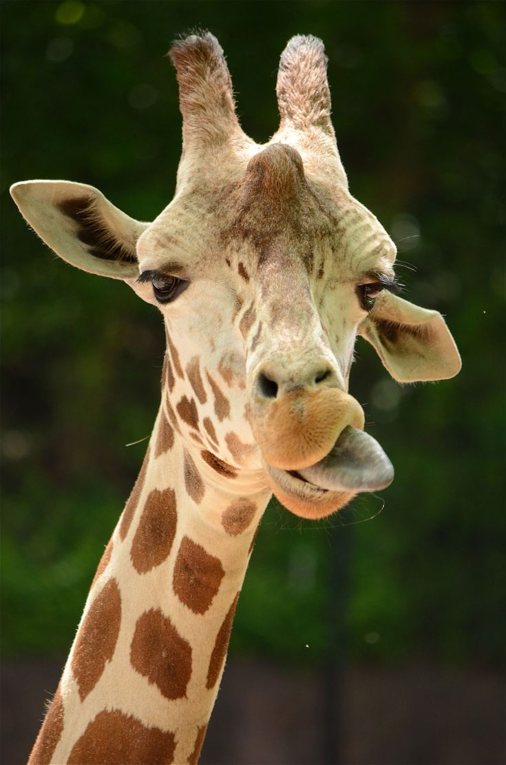 How Much Do You Know About Giraffes?: Giraffes Are Ruminant Mammals