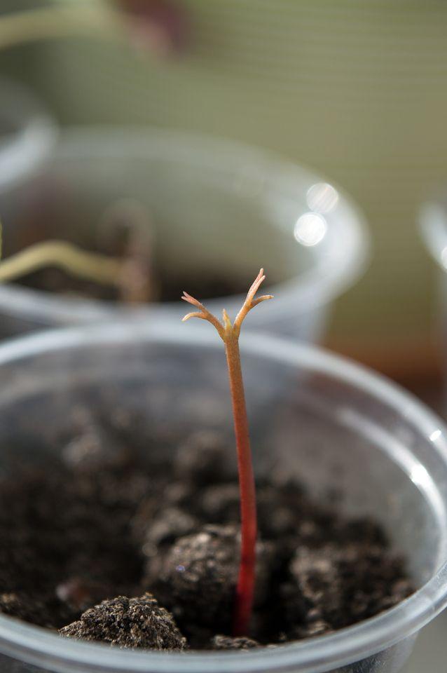 Сеянец личи в возрасте 3 дней