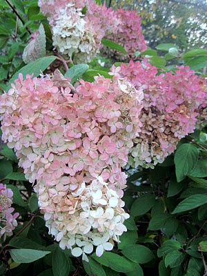 PEE GEE HYDRANGEAS IN MAINE I have a beaut in my front yard in New Harbor
