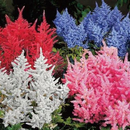 50+ Astilbe Bunter Mix Flower Seeds