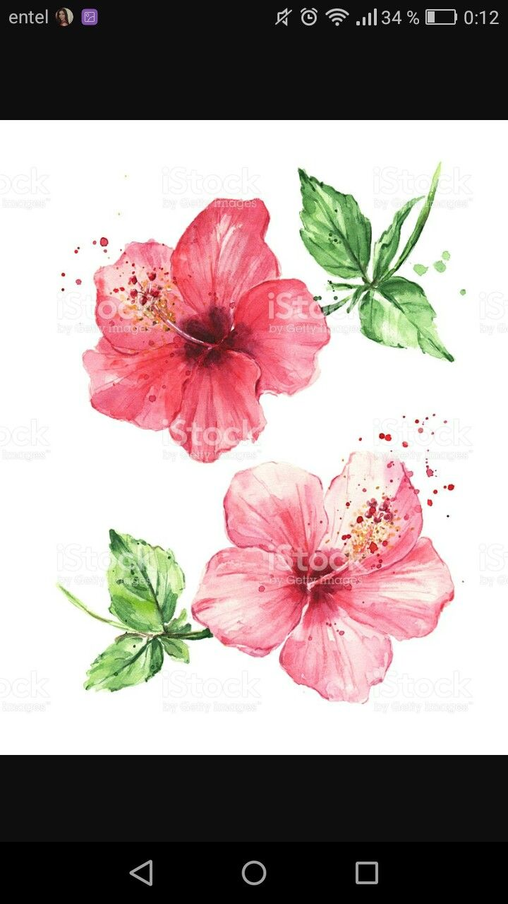Hibiscus Drawing By By His Grace Essential Oils On Paintings