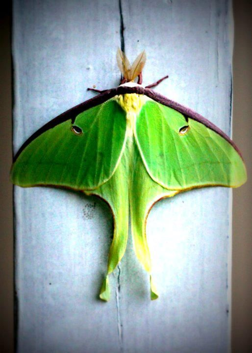 Luna MothLuna Moth, Things Nature, Butterflies Moths Dragonflies, Beautiful, Animales Ish, Actia Luna, Amazing Bugs, Animal Friends, Wings Things