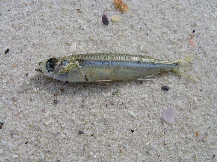 Tiny fish washed up on Hyams Beach NSW, Australia (worlds whitest sand)