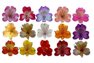 astromelias y sus colores .jpg (320×216): Colors Jpg, Arranjo Ems, Flowers Flor, Da Flora, Alstroemeria Flore, A Comment, Fabricar Evento, Rosa-Shocked Flora, Gardens Pinamar